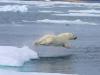Oso polar, Artico canadiense, reporte Noviembre 2017